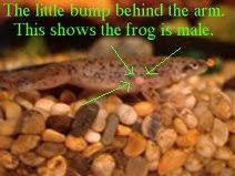 Should African Dwarf Frogs Shed by Breeding And Rearing Dwarf Clawed Frogs