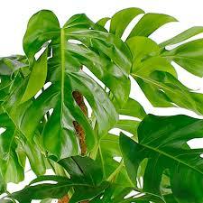 tipp zimmerpflanzen kaufen 123zimmerpflanzen