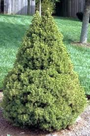Alberta Spruce Christmas Tree Dwarf Expert Advice 3