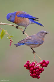 703 Best BIRDIES Images On Pinterest | Beautiful Birds, Backyard ... National Geographic Backyard Guide To The Birds Of North America Field Manakins Photo Gallery Pictures More From Insects And Spiders Twoinone Bird Feeder Store Birds Society Michigan Mel Baughman Blue Jay Picture Desktop Wallpaper Free Wallpapers Pocket The Backyard Naturalist 2017 Cave Wall Calendar