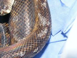 Snake Skin Shedding Lucky by Sadly You Cant Kill A Warrior So Wanna Treat A Snake Instead