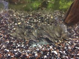 Baby Blue Tilapia For Sale