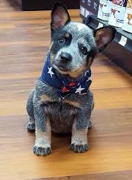 best 25 blue heelers ideas on pinterest blue heeler dog