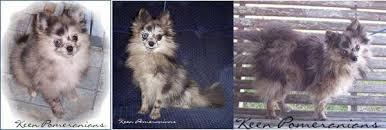 Sheltie Shedding Puppy Coat by Petpom Pomeranian Shedding
