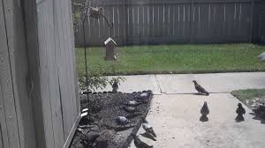 Anti Pigeon Bird Feeder - YouTube A Tame Pigeon In Our Back Yard Youtube 378 Best Pigeons Doves Images On Pinterest Beautiful Birds Hd Big Dove Pigeons Doves White Gray Eating Seed Backyard Flock Of Bandtailed Cramming Into Bird Feeder My First Backyard Chickens Building Loft For New Need Info Faest Sprinter Racing Modena Food And Profit Cooldesign Backyard Architecturenice Busy Their Foods My Help Me Identify The Gender This