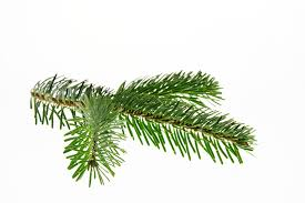 Nordmann Fir Christmas Trees Wholesale by Free Photo Nordmann Fir Fir Christmas Free Image On Pixabay
