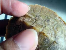 Turtle Shell Not Shedding by No Fungus Just Shedding Underneath The Shell