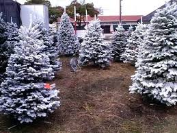 8 Foot Christmas Tree At Our Huge Lot In We Offer Flocking Gives The