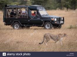 100 Safari Truck Cheetah Walks Beside Photographers In Safari Truck Stock Photo