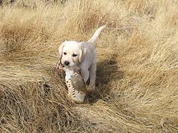 Chesapeake Bay Retriever Shed Hunting by Chocolate Labrador Retriever Hunting Jaddid Hd Wallpapers