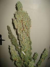 recolte cannabis exterieur date utiliser l engrais pour cultiver du cannabis en terre du