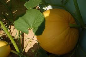 Pumpkin Patch Lafayette La by Home