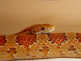 Corn Snake Shedding Too Often by O Corn Snake With Swollen Vent Not Sure What It Is Page 19