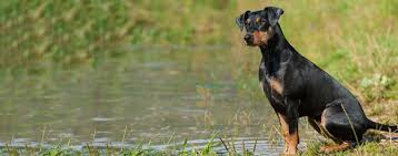 Do Miniature Doberman Pinschers Shed by German Pinscher Dog Breed Health History Appearance