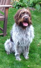 Griffon German Wirehaired Pointer Shedding by 24 Best Next Doggie Images On Pinterest Wirehaired Pointing
