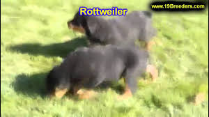 Rottweiler Puppies Craigslist | All New Car Release And Reviews