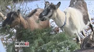 Ticks On Christmas Trees 2015 by Cruisin U0027 Connecticut U2013 Christmas Tree Eating Goats At Lyric Hill