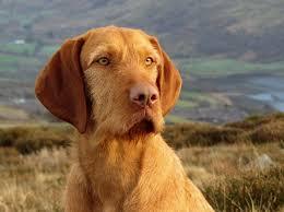 do vizsla dogs shed best 25 vizsla breed ideas on vizsla