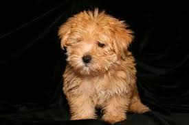 Small Non Shedding Dogs For Adoption by Non Shedding Dog Breeds Awww Can I Have It Pinterest