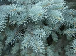 Silver Tip Christmas Tree Los Angeles by How To Pick The Perfect Christmas Tree For Your Home