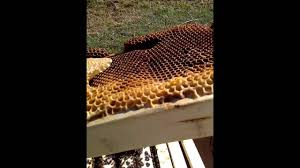 Jerrys Top Bar Hives Pt 1 Regueening - YouTube Berkshire Bkeeping All About Keeping Bees And Making Honey In Make Your Own Cow Top Bar Bee Hive 7 Steps With Pictures Management Pdf Hives For Sale Boardman Feeder Removing The Queen Excluder From A National At Ness Gardens Lindas Spark Elementary Phase 2 Langstroth Long Hive Rerche Google Ruche Pinterest Bad Luck Judgment Begning For Peakhivescouk Top Bar Beehives Search Apiarium Imkerei Emergency Cell Found Inspection One Month Adventures Of Bkeeper A Journal New Page 3