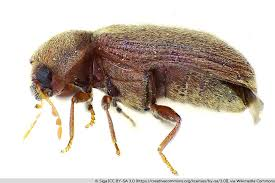kleine braune käfer überall was tun käfer in der wohnung