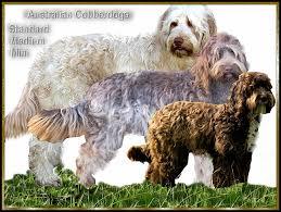 Small Non Shedding Dogs Australia by About Cobberdogs Rutlands Australian Cobberdogs