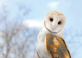 Barn Owl | Bee Alerts Barn Owl Front View Wood Carving My Carvings Pinterest Audubon Field Guide Spring2015vcuornithology The Owls Perch Uncommon Tyto Alba Species Paris Best 25 Owls Ideas On Beautiful Owl And Bee Alerts Scribble Scrabble Babble Schiereule Adult In Gliding Flight
