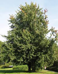 What Kind Of Trees Are Christmas Trees by Acer Saccharinum Wikipedia
