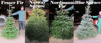Pot Grown Tiny Fraser Firs Typically 1 2 Ft To From GBP2000 Christmas Tree Types