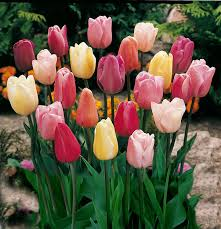 mixed triumph tulips 25 bulbs assorted colors of