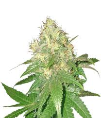 Northern Light Blue Femenised Cannabis Seeds from Delicious Seeds