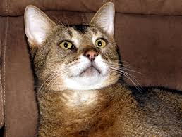 fatty liver cats liver disease and cats bengal cats and fatty liver disease and