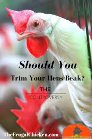 58 Best Podcasts About Chickens | Homesteading | Ducks | Turkeys ... Raising Turkeys Morning Routine Youtube 117 Best Helpful Tips And Tricks For Livestock Pets Images On What Do Wild Turkeys Eat Feeding Birds Your Homestead Homesteads Turkey 171 Ducks Geese Guineas Farm Tales A Holiday Feast In Our Own Backyard Free 132 Pinterest Backyard Chickens 1528 Chickens Coops Chicken How To Raise Hgtv Bring Up Other Fowl