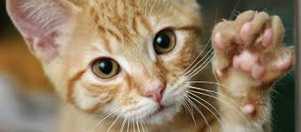 cost to declaw cat we animals pros cons of declawing your cat
