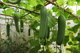 Fertilizer For Pumpkins Uk growing cucumbers in container gardens