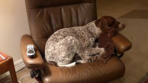 Griffon German Wirehaired Pointer Shedding by 7 Ways German Shorthaired Pointers Make Life More Interesting