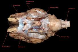 Lab Sheep brain images