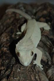 Crested Gecko Shedding Help by Crested Gecko Care 4 Steps
