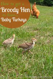 How To Get A Broody Hen To Raise Baby Turkeys Raising Turkeys Morning Routine Youtube 117 Best Helpful Tips And Tricks For Livestock Pets Images On What Do Wild Turkeys Eat Feeding Birds Your Homestead Homesteads Turkey 171 Ducks Geese Guineas Farm Tales A Holiday Feast In Our Own Backyard Free 132 Pinterest Backyard Chickens 1528 Chickens Coops Chicken How To Raise Hgtv Bring Up Other Fowl