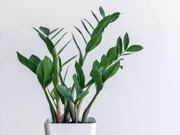diese zimmerpflanzen für dunkle räume brauchen wenig licht