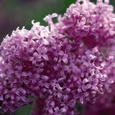 Persian Lilac Buy At Nature Hills Nursery