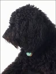 What Dog Sheds The Most by Labradoodle Dog Breed Information And Pictures