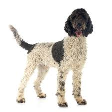 Portuguese Water Dog Non Shedding by Portuguese Water Dog Dogs Breed Information Omlet