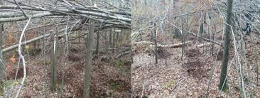 Why and How to Hinge Cut Trees For Better Deer Habitat and Hunting