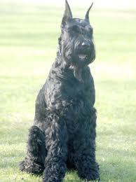 Do Giant Schnauzers Shed by A List Of Mountain Dog Breeds With Amazing Information And Pictures