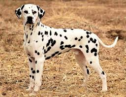 Non Shed Dog Breeds Large by Best Suited Dog Breeds For Indian Climate Pets World