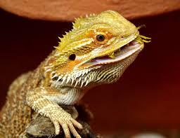 100 bearded dragon shedding nose bearded dragon raised