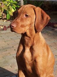 Vizsla Dog Breed Shedding by Saar 5 Months Old U0027pinners U0027 Dogs Pinterest Hungarian Vizsla