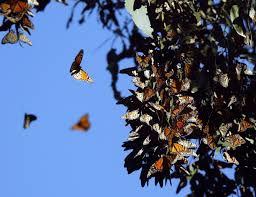 Ardenwood Park Pumpkin Patch by East Bay Park It Fremont To Highlight Monarch Butterflies